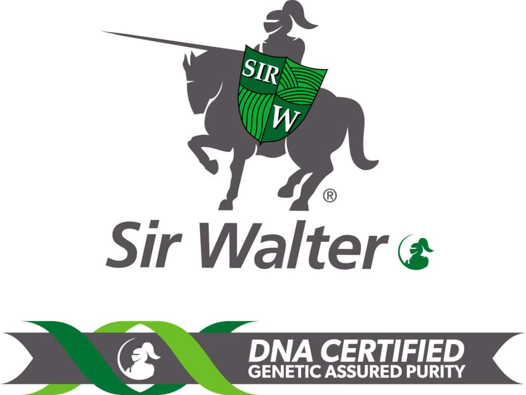 DNA Certified Sir Walter Buffalo
